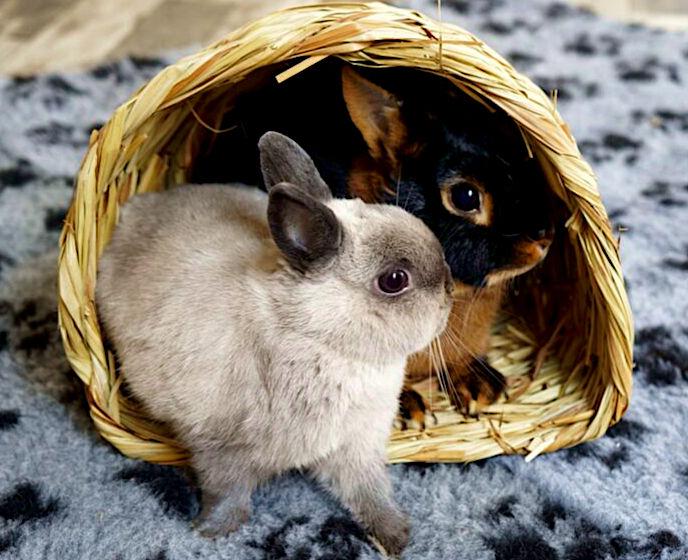 łączenie królików