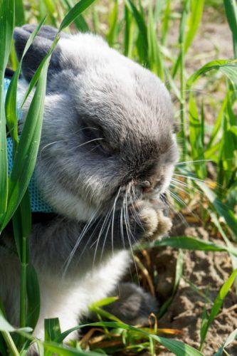 pielęgnacja królika